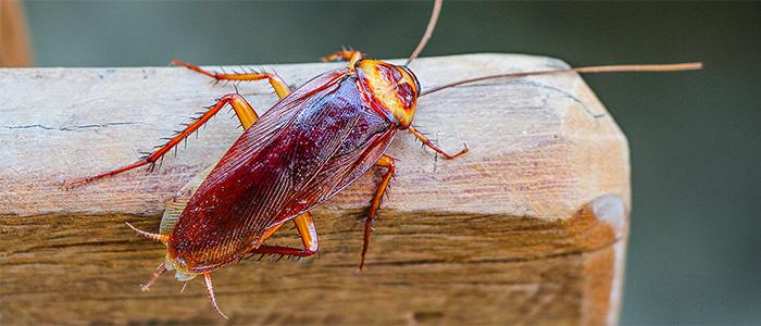 Cockroach Control Mount Barker